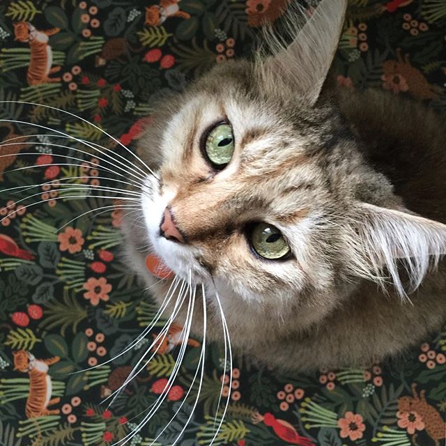 With my MAGNIFICENT whiskers and HYPNOTIC green eyes, I definitely belong in this jungle!A gentle reminder that orders for Rifle Paper Co's gorgeous designs from their Summer catalogue (this jungle paper is one of them) need to be received by Wednesday 22nd June. Have a wonderful week!#riflepaperco #cats #stationeryaddict #giftwrap #jungle #thatsdarling #beautiful #greetingcards #catsofinstagram #cards